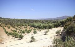 Olive orchard Stock Photos