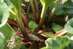 Rhubarb in the field - stock photo