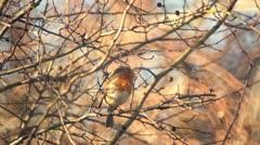 Robin redbreast birdsong - stock footage