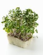 Radish sprouts and daikon cress - stock photo