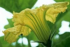Squash Blossom - stock photo