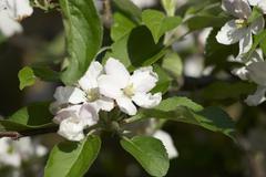 Apple blossom on the tree Stock Photos