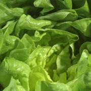 Lettuce (detail) Stock Photos