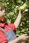 Little boy reaching for apples on branch - stock photo