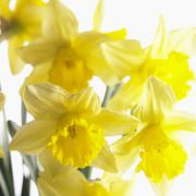 Flowering narcissi - stock photo