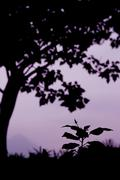 Silhouette of big tree and a small plant Stock Photos