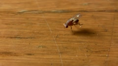 House Fly insect on food table Stock Footage