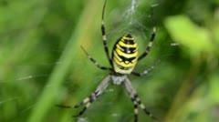 Defocus wasp spider argiope bruennichi spiderweb Stock Footage