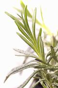 Sprig of lavender (close-up) Stock Photos