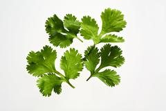 Several coriander leaves - stock photo