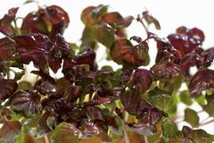 Stock Photo of Red daikon cress