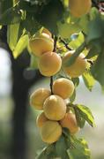 Apricots on the tree - stock photo