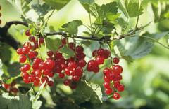 Stock Photo of Redcurrants on the bush