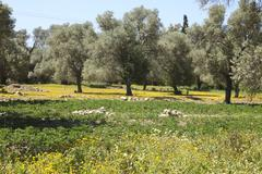 Olive trees and excavations in crete Stock Photos