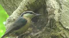 Close up of nuthatch on the edge of hole in tree, feeds young hatchlings Stock Footage
