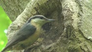 Stock Video Footage of Close up of nuthatch on the edge of hole in tree, feeds young hatchlings
