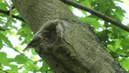 Stock Video Footage of Nuthatch Feeds Young in hollow tree