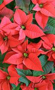 Red poinsettia flowers Stock Photos