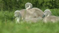 Cygnets walking on grass - stock footage