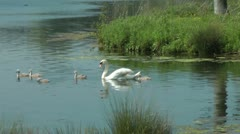 Swan with signets on lake Stock Footage