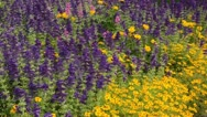 Stock Video Footage of Annual sage (Salvia viridis syn. Salvia horminum) and marigold (Tagetes)