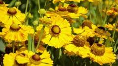 Sneezeweed (Helenium Goldrausch) Stock Footage