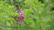 Stock Video Footage of Common indigo (Indigofera tinctoria)