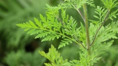 Common ragweed (Ambrosia artemisiifolia) - stock footage
