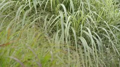 Chinese silver grass (Miscanthus sinensis 'Variegata' syn. Miscanthus sinensis Stock Footage