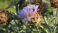 Stock Video Footage of Artichoke (Cynara cardunculus syn. Cynara scolymus) and bumble bee (Bombus)