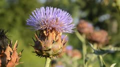 Stock Video Footage of Artichoke (Cynara cardunculus syn. Cynara scolymus) and bees (Apis)