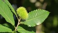 Sweet chestnut (Castanea sativa) Stock Footage