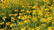 Stock Video Footage of Cone flower (Rudbeckia fulgida 'Goldsturm')