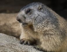 groundhog closeup - stock photo