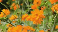 Stock Video Footage of Yellow cosmos (Cosmos sulphureus) and bee (Apis)