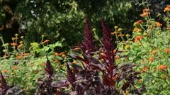 Amaranth (Amaranthus) and Mexican sunflower (Tithonia rotundifolia) Stock Footage