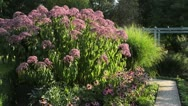 Stock Video Footage of Joe Pye weed (Eupatorium purpureum 'Glutball'), purple cone flower (Echinacea