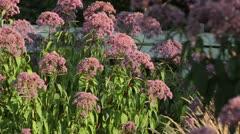 Joe Pye weed (Eupatorium purpureum 'Glutball') Stock Footage