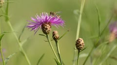 Greater knapweed (Centaurea scabiosa) with flower fly Stock Footage