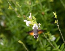 hummingbird moth - stock photo