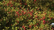 Stock Video Footage of Midland hawthorn (Crataegus laevigata)