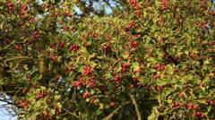 Midland hawthorn (Crataegus laevigata) Stock Footage