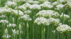 Chinese chives (Allium tuberosum) Stock Footage