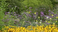 Stock Video Footage of Brazilian verbena (Verbena bonariensis) and cone flower (Rudbeckia fulgida