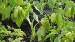 Sweet pepper (Capsicum annuum) Stock Footage