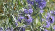 Stock Video Footage of Blue beard (Caryopteris x clandonensis) and bee (Apis)