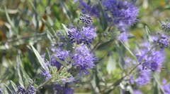 Blue beard (Caryopteris x clandonensis) Stock Footage