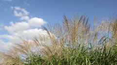 Chinese silver grass (Miscanthus sinensis 'Silberfeder') Stock Footage