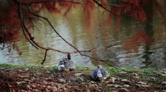 Couple of ducks relaxing on the bank of a river under a red leaves tree Stock Footage
