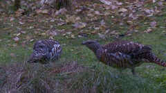 Wood grouse Stock Footage